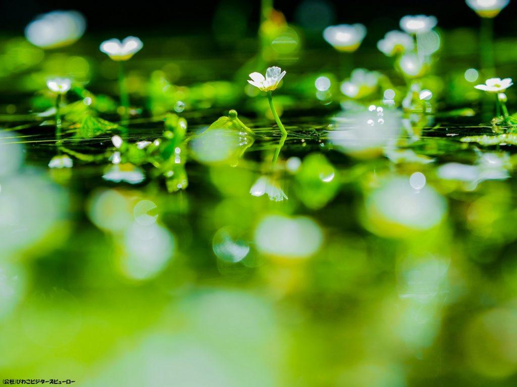 注目_滋賀_地蔵川の梅花藻